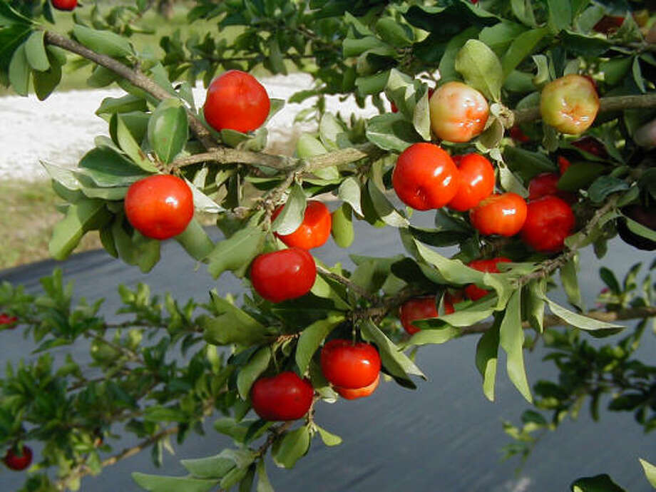 These edible Barbados cherries resemble shiny, small apples. Photo: Heidi Sheesley, Treesearch Farms