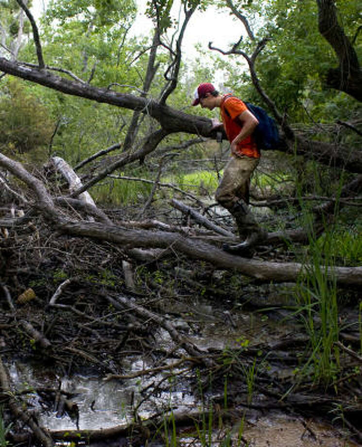 Gingerly walking over a wet area, Dan Kaminski, a graduate student at Stephen F. Austin State University, looks for a spot in the Blue Elbow Swamp near Orange to place a bear hair-snare trap. Photo: Johnny Hanson, Chronicle