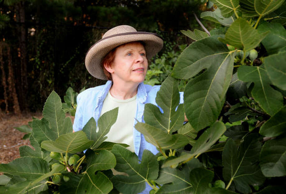 Linda Crum, of The Woodlands, checks the figs on a fig tree at the Community Garden at Bear Branch Park. Photo: David Hopper, For The Chronicle