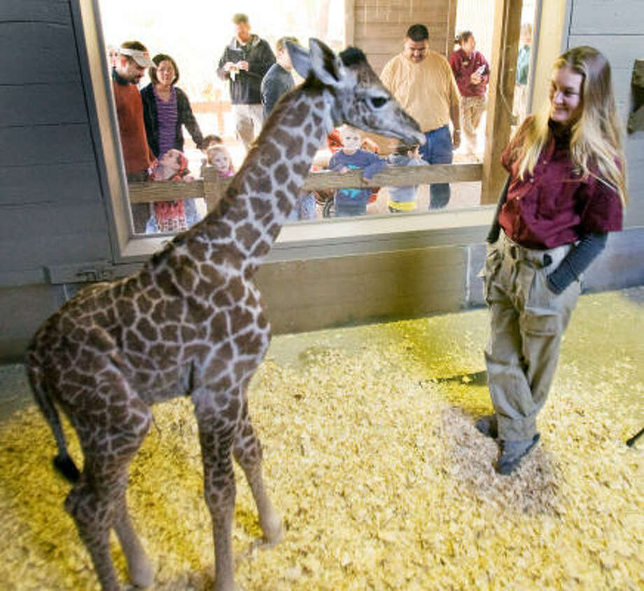 """The Houston Zoo's Kelli Barron works with baby giraffe Miles. The zoo will host a """"Meet the Keeper"""" session. Photo: STEVE CAMPBELL:, CHRONICLE"""
