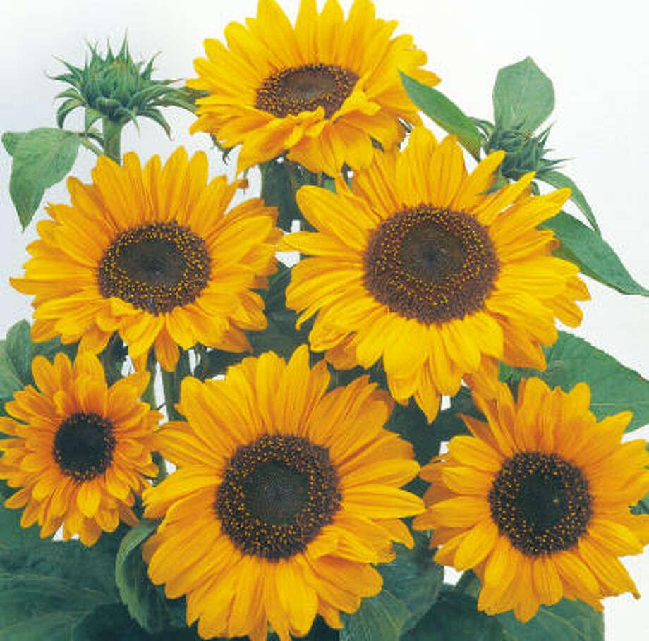 'Soraya' sunflower Photo: Benary
