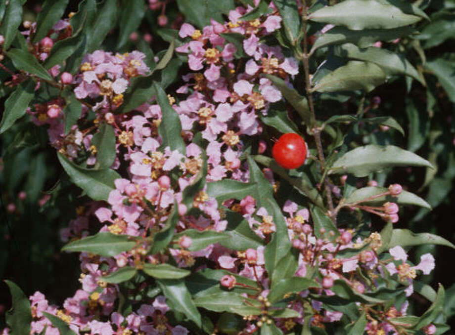 Dwarf Barbados cherry offers small pink and white blooms and bright red berries for the birds. Photo: Treesearch Farms