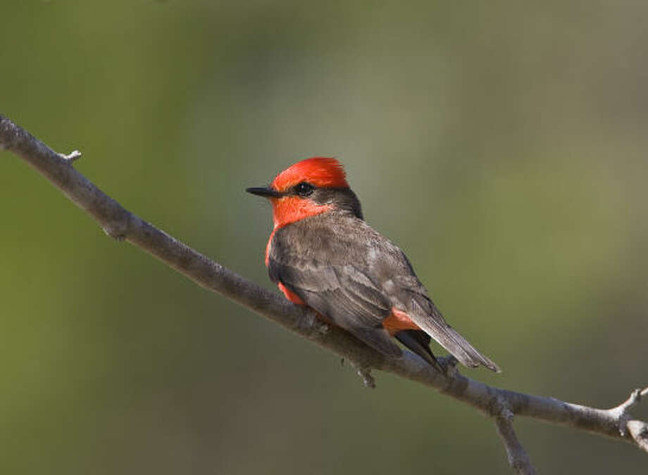 Cottonwood Campground in Big Bend National Park is home to a variety of birds from spring to autumn including vermilion flycatchers. Photo: Kathy Adams Clark
