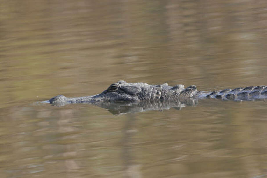 Hurricane Ike killed and displaced many alligators in southeast Texas. During a recent annual survey of wetlands in Jefferson, Chambers and Orange counties, state wildlife biologists counted only 10 percent of the normal number of gator nests. Photo: Shannon  Tompkins, Houston Chronicle