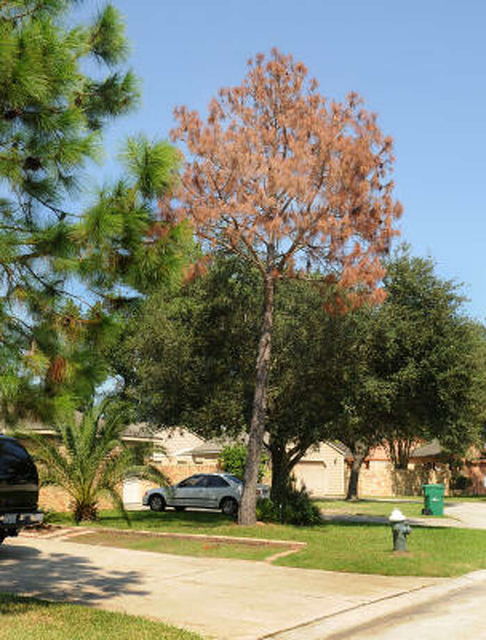 A TREE DIES: A pine bark beetle infected pine tree, in High Oak Park in Grogan?s Mill, off of Sawmill Road, stands among healthy trees. A pine bark beetle infestation in The Woodlands is destroying many pine trees. Photo: David Hopper, For The Chronicle