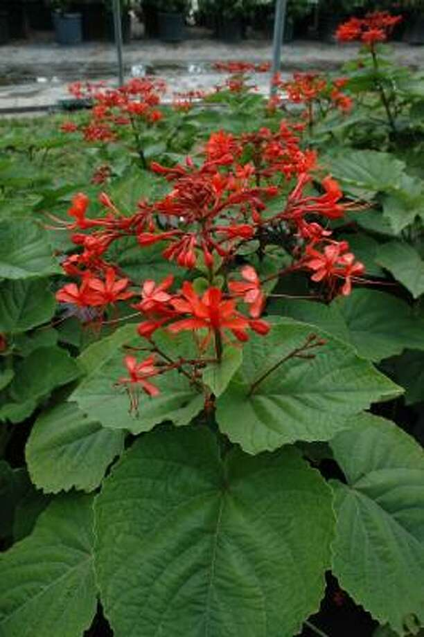 The Pagoda Flower clerodendron is a hardy perennial with a tropical look.