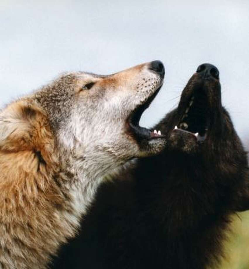 This photograph provided by the journal Science shows wolf pups howling at Wolf Park in Battle Ground, Ind. Photo: AP