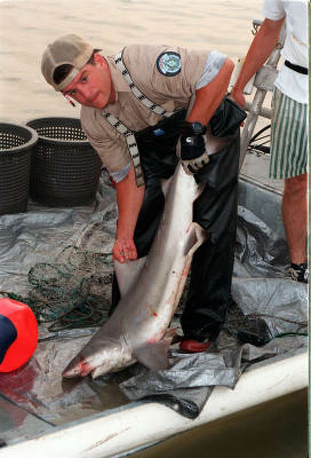 Under pressure from federal officials to coordinate shark regulations, Texas fisheries officials set a minimum length limit of 64 inches for most sharks, including the frequently caught bull shark, such as this one taken from Trinity Bay. Photo: Shannon Tompkins, HOUSTON CHRONICLE