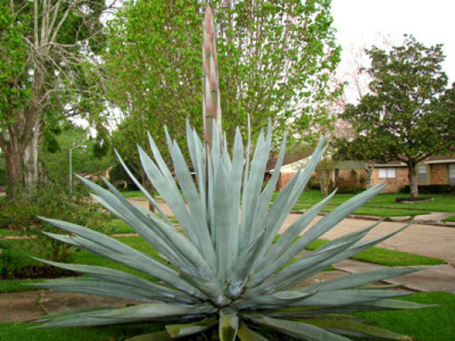 Agave plant putting out a rare bloom in 2009. Photo: Lauren Ladwig, For The Chronicle