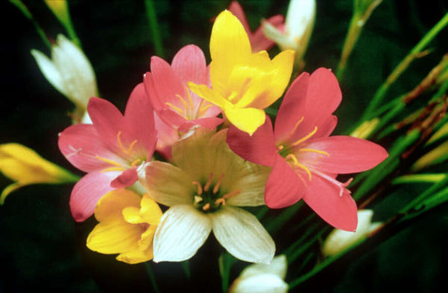 LOTS OF COLOR:  Small yellow, pink and white rain lilies aren't short on fun in the garden.  They can be planted in the fall and are no-care, naturalizing bulbs. Photo: Chronicle Files