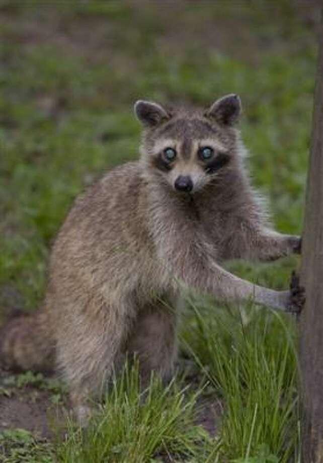 El Houston Arboretum ofrece una clase sobre mapaches. Photo: Archivo