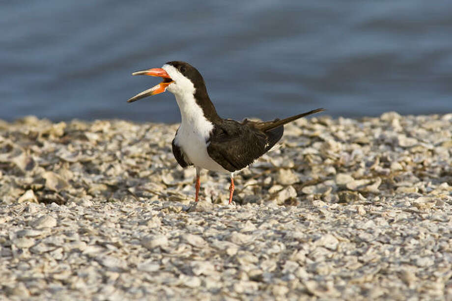 The black skimmer, the bird with the unusual beak, can be seen along the coast. Photo: Kathy Adams Clark