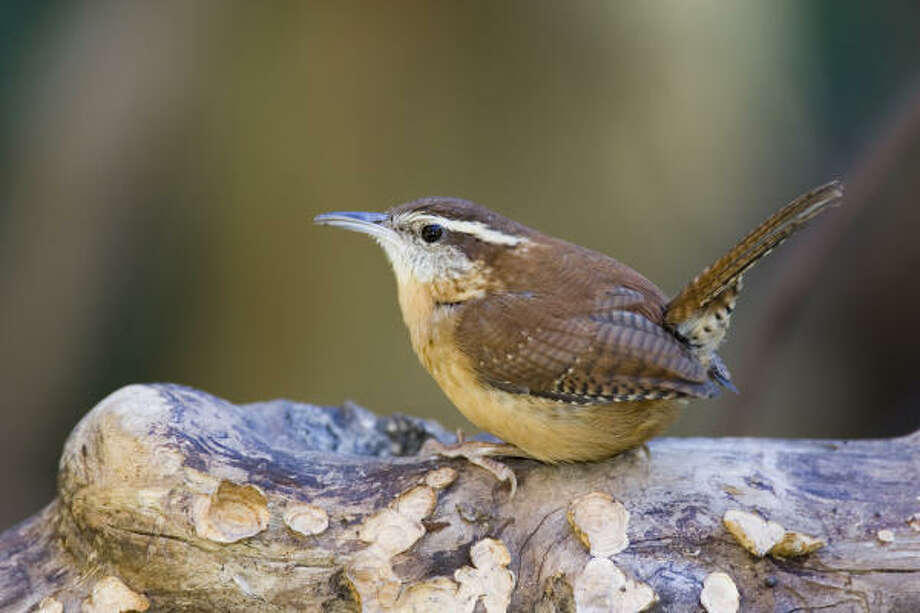 The Carolina wren song that sounds like teakettle-teakettle-teakettle-cheery-cheery-cheery serves many purposes this spring. Photo: Kathy Adams Clark