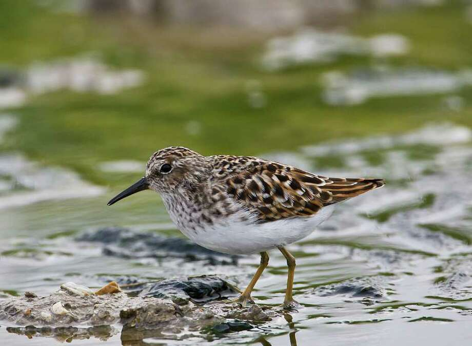 Shorebirds, like this least sandpiper, are showing up along Texas coastlines and marshes as they migrate south to wintering grounds.  Photo Credit:  Kathy Adams Clark.  Restricted use. Photo: Kathy Adams Clark / Kathy Adams Clark/KAC Productions