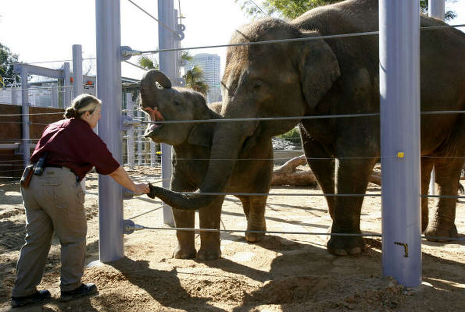 Cynthia Drabek feeds Shanti (larger elephant on the right) and her baby, Mac, at the Houston Zoo in February last year. Mac died in November of the elephant herpes virus. Photo: Karen Warren, Chronicle