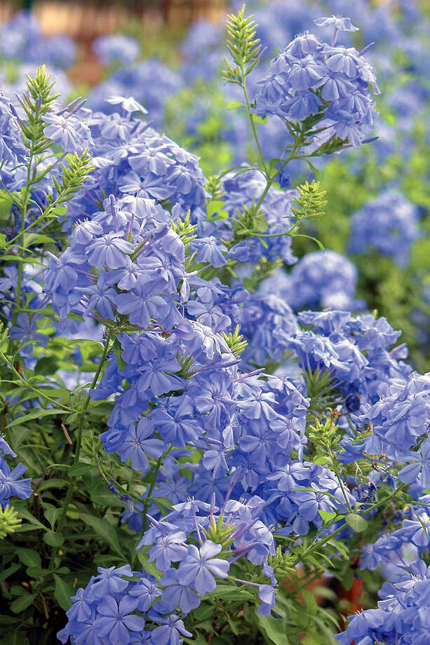 Blue plumbago (Plumbago auriculata) will sometimes flower all winter. MONROVIA