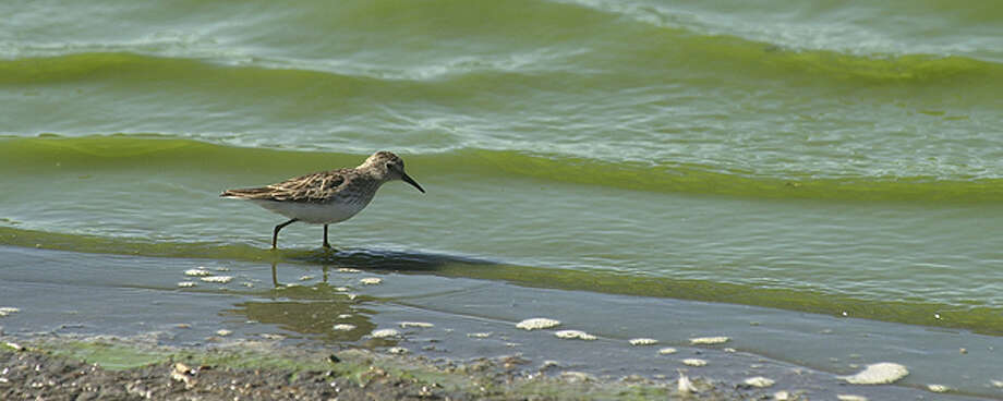 Shorebirds, such as this least sandpiper, are showing up along Texas coastlines and marshes as they migrate south to wintering grounds. EXPRESS-NEWS FILE PHOTO