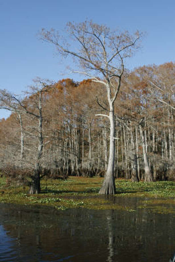 A choking blanket of giant salvinia, water hyacinth and hydrilla surround a portion of Big Green Brake on Caddo Lake. Photo: Shannon Tompkins, Chronicle
