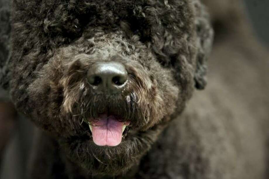 A 3 year old Portuguese water dog. Photo: Mary Altaffer, AP