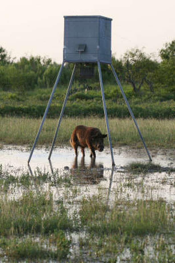 Feral hogs can dominate use of wildlife feeders, preventing deer and other wildlife from accessing the supplemental food. A recent Texas study indicates inexpensive, low wire-mesh fencing around the feeder can greatly reduce hog access without restricting deer visits. Photo: Shannon Tompkins, Chronicle