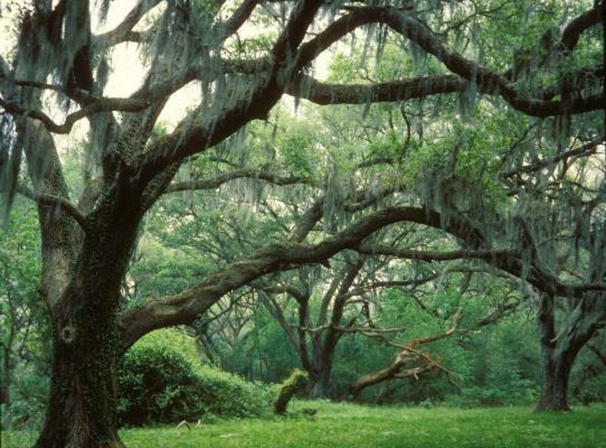 Brazos Bend State Park, located near Needville, is home to numerous huge and stately live oak trees, some of them more than 100 years old.