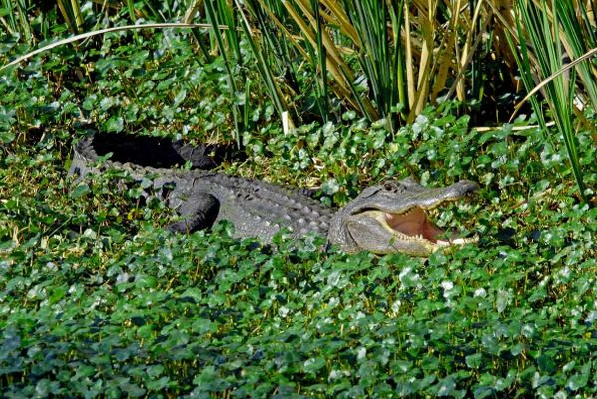 Brazos Bend State Park is renowned for its wildlife viewing opportunities; it remains a particularly a good place to see American Alligators.