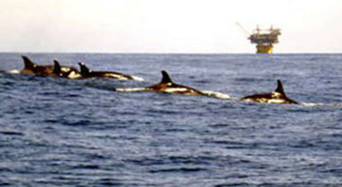 Orcas are seen near an oil rig in the Gulf of Mexico. One scientist has estimated that up to 200 live from Brownsville to north of Key West, Fla.