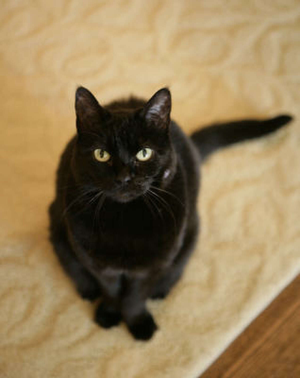 India, the White House First Kitty, poses for the camera in this 2006 photograph. The 18-year-old pet died Sunday, January 4, 2009, at home with the President and Mrs. Laura Bush.