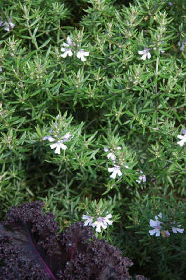 Australian rosemary (Westringia) Photo: Mercer Arboretum & Botanic Gardens