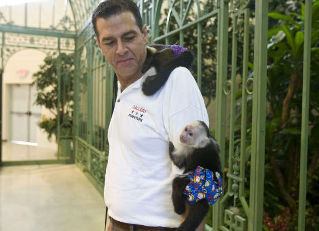 Gallery Furniture Exotic Animal Curator Robert Williams Has Capuchin  Monkeys For Company At The Gallery Furniture