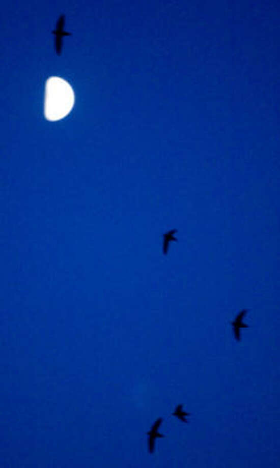 Chimney swifts circle at dusk in search of insects before settling down for the night. Photo: Nick De La Torre, Chronicle