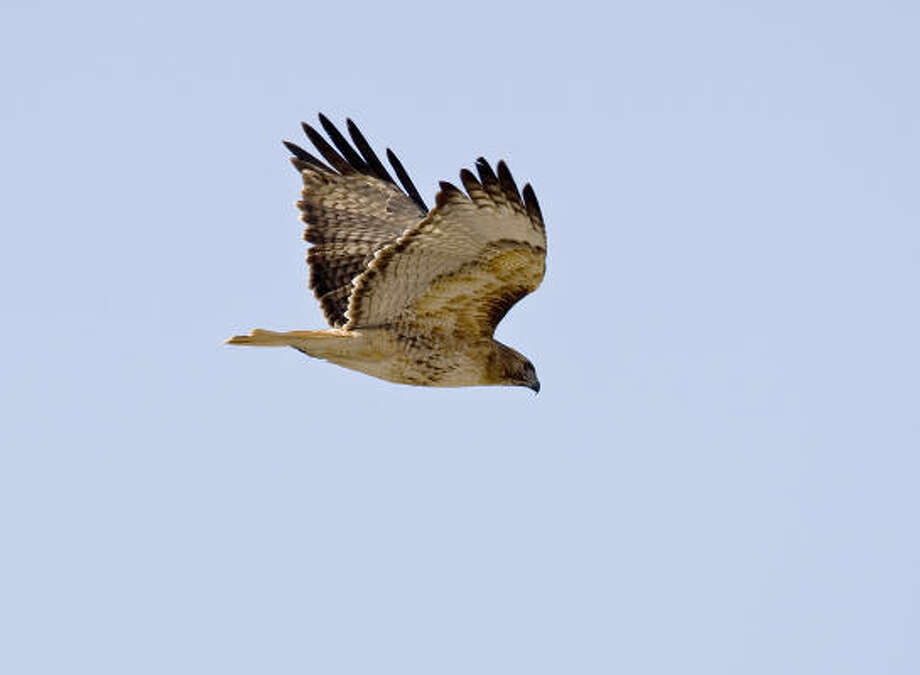 The great fall raptor migration is going on overhead. Raptors such as this red-tailed hawk are heading south for the winter. Photo: Kathy Adams Clark