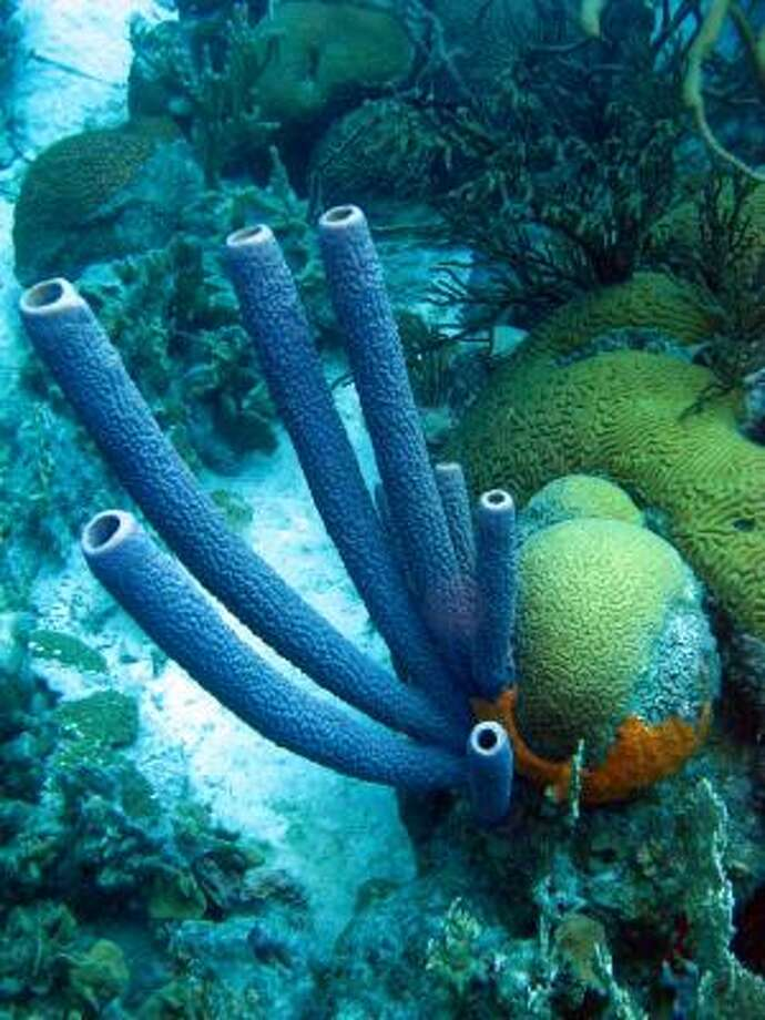 Divers frequently find tube sponges and brain corals such as the ones pictured here. There are also more than 350 species of fish on a reef that circles the 111-square-mile island. Photo: Brian Witte, Associated Press