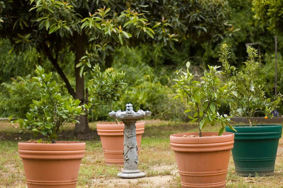 Dwarf citrus trees, left to right in pots: Meyer lemon, Cara Cara navel orange, Mineola tangelo and Meiwa kumquat. More: Fruit trees in containers | Fruit tree sales, classes | Grow tropical fruit at home | Small yard? Here's 3 ways to fit in fruit trees | Database fruit trees | HoustonGrows.com Photo: RBerteig, Flickr.com