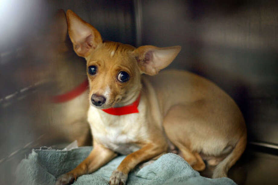California has more Chihuahuas than it can handle. Chihuahuas make up 30 to 40 percent of the dogs at many California shelters, so many that some shelters are shipping Chihuahuas to other states to find homes. Photo: David McNew, Getty Images