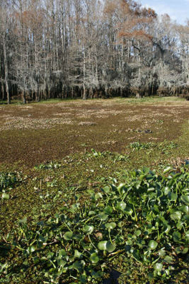A smothering mat of giant salvinia and water hyacinth cover Green Brake, a large stand of cypress trees in Caddo Lake and a prime spawning area for the lake's sunfish and crappie.  The invasive salvinia, which was discovered on the 26,000-acre lake in 2006, covers as much as 3,000 or more acres and continues growing. Photo: Shannon Tompkins, Chronicle