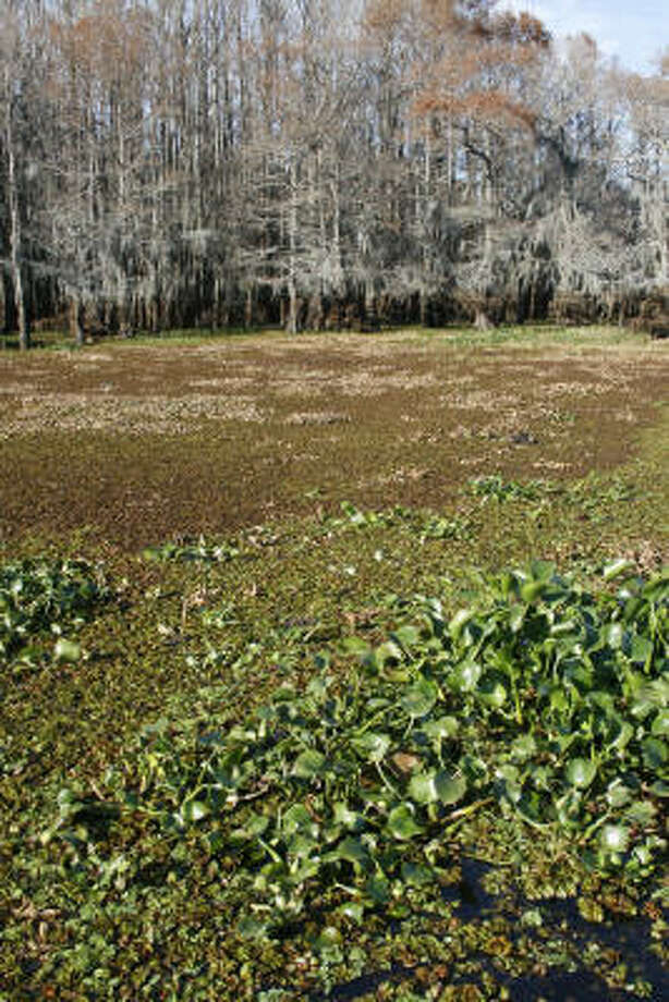 A mat of giant salvinia and water hyacinth surrounds a portion of Big Green Brake, a major spawning area for sunfish on Caddo Lake. Photo: Shannon Tompkins, Chronicle