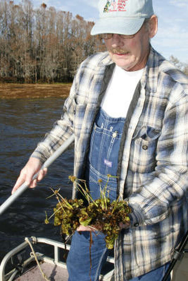 Sam Canup, mayor of Uncertain on the shore of Caddo Lake, holds a fist-full of giant salvinia on which sedges are growing. The invasive salvinia, which can smother the life from waterways, can produce mats so thick other plants sprout atop them. Photo: Shannon Tompkins, Chronicle