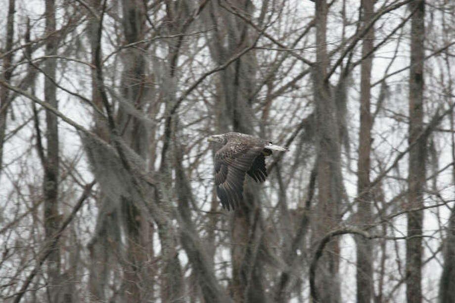 An immature bald eagle cruises along a cypress-lined waterway on Caddo Lake. Eagles, waterfowl and other migratory birds long have wintered on Caddo's shallow, rich wetland system - a system now under stress from invasive aquatic plants and other threats. Photo: Shannon Tompkins, Chronicle