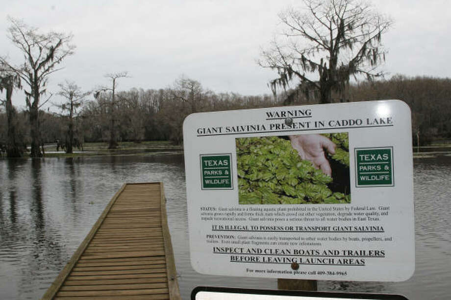 Discovered on Caddo Lake less than five years ago, giant salvinia now covers at least 3,000 acres of the iconic, ancient lake on the Texas/Louisiana border. Together with water hyacinth and hydrilla, the invasives threaten the lake's health and continued productivity. Photo: Shannon Tompkins, Chronicle