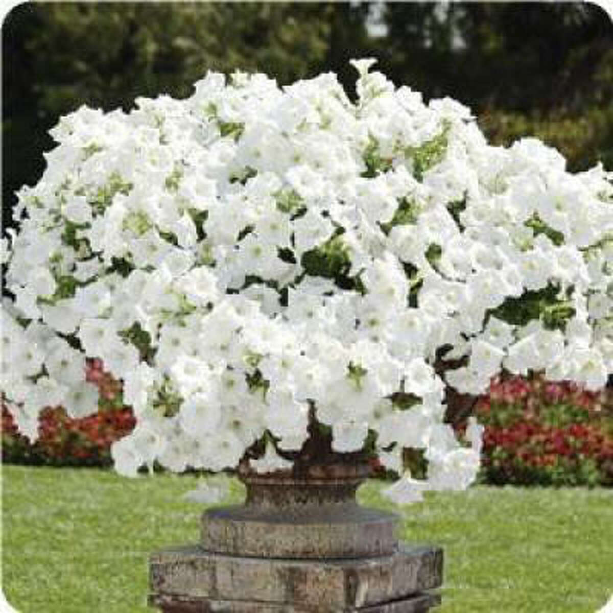 'Easy Wave' white petunia. Soft, fluttering petunias tumble through beds and over container lips. Create your own white winter garden | Submit your garden photos | Houston Plant Database | HoustonGrows.com