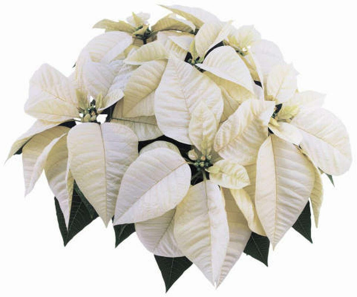 Extend the white garden indoors with White Star poinsettia. Create your own white winter garden | Submit your garden photos | Houston Plant Database | HoustonGrows.com