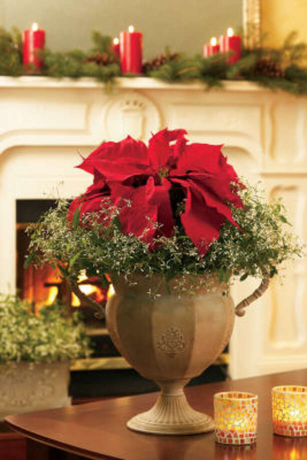 'Diamond Point' poinsettia pairs nicely with another euphorbia, 'Diamond Frost.'  New ideas for poinsettia arrangements  | How to keep my poinsettia after Christmas?  | 2009 Christmas tree farm list  |  Holiday plant FAQ  |  Video: Make an easy holiday topiary  |  Gallery: Holiday wreaths  | Submit your garden photos | Houston Plant Database | HoustonGrows.com Photo: Chris Brown Photography