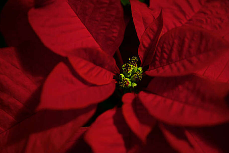 POINSETTIA:Keep poinsettias and other holiday plants out of heating drafts; set on cool floor at night. A potted poinsettia   can hold its colorful bracts through spring if kept cool and not overwatered.How to keep my poinsettia   after Christmas?  | 2009 Christmas tree   farm list  |  Holiday plant FAQ  |  Video: Make an easy holiday   topiary  |  Gallery: Holiday   wreaths  | Submit your garden photos | Houston Plant Database   | HoustonGrows.com Photo: Southernpixel, Flickr.com