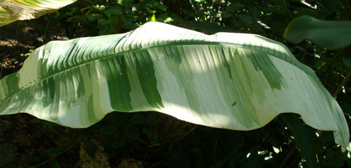 Variegated banana leaf Jungle Heights blog (rjudd) | Submit your garden photos | Houston Plant Database | HoustonGrows.com