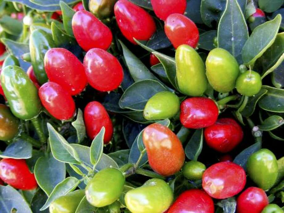 NuMex Christmas ornamental chile plant. Photo: AP / The Chile Pepper Institute NMSU