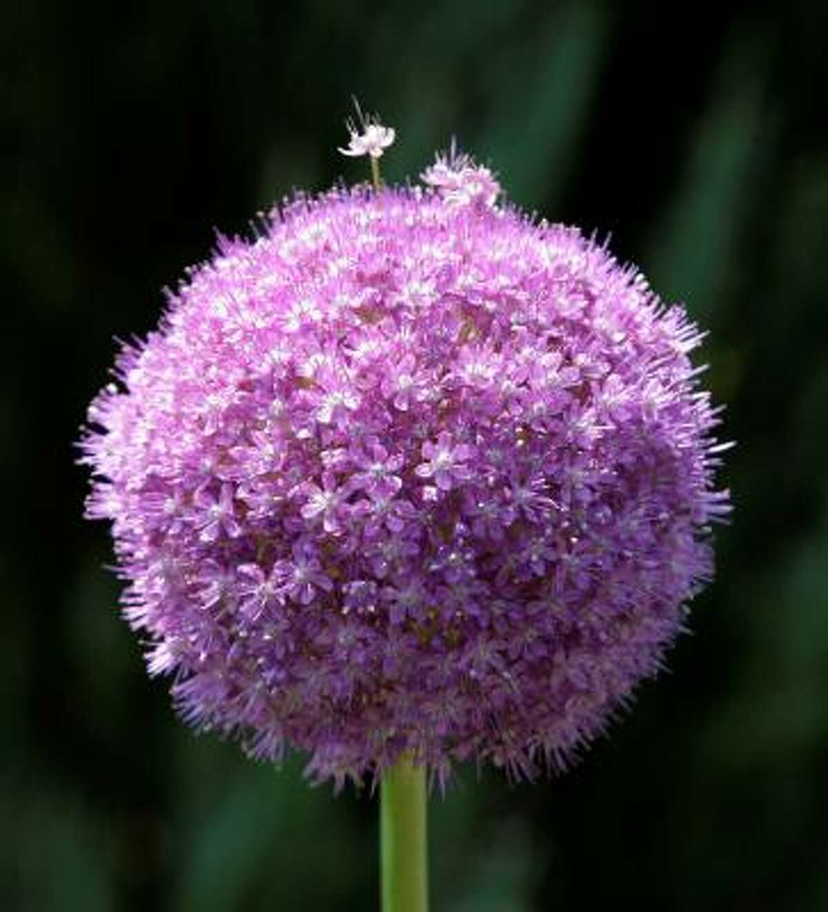 ALLIUM: Allium giganteum Bulbs in the Plant Database | Top 10 naturalizing bulbs | Plant bulbs by the holiday | Top 10 bulbs to plant in fall :: HoustonGrows.com