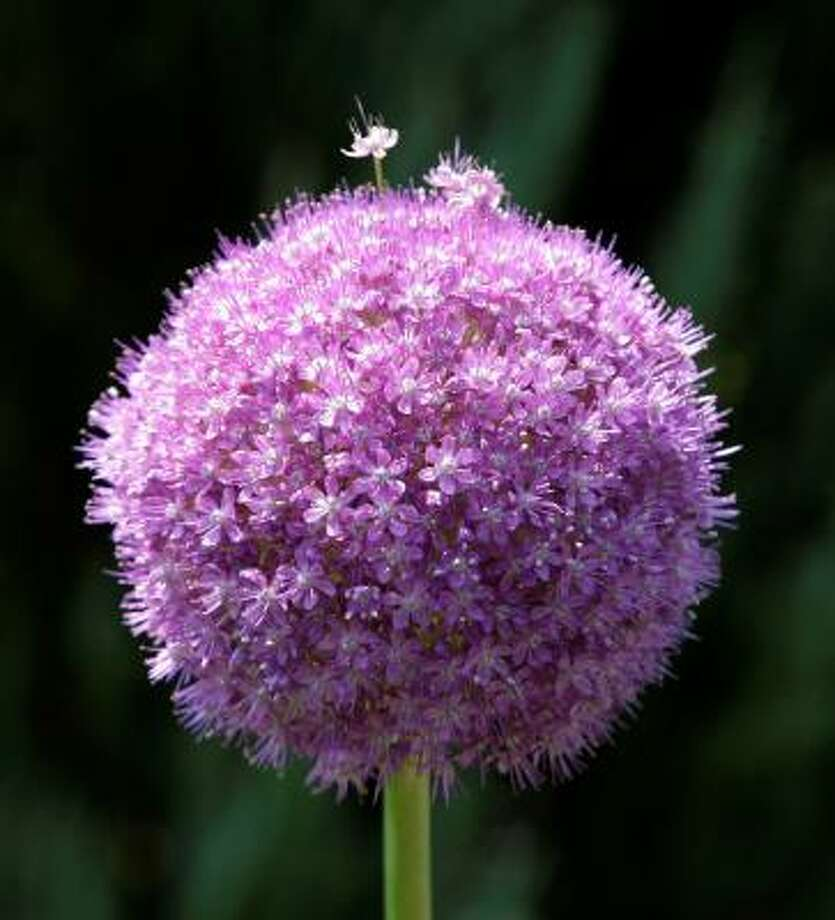 ALLIUM:Allium giganteum   Bulbs in the Plant Database   | Top 10 naturalizing   bulbs | Plant   bulbs by the holiday | Top 10 bulbs to plant in fall :: HoustonGrows.com Photo: Kathy Willens, AP