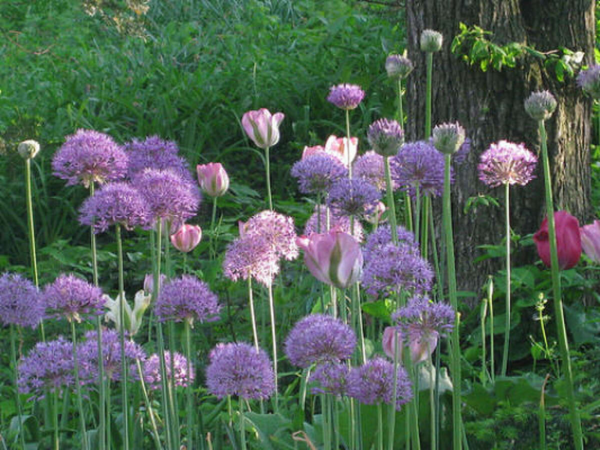 ALLIUM: Allium with tulips Bulbs in the Plant Database | Top 10 naturalizing bulbs | Plant bulbs by the holiday | Top 10 bulbs to plant in fall :: HoustonGrows.com