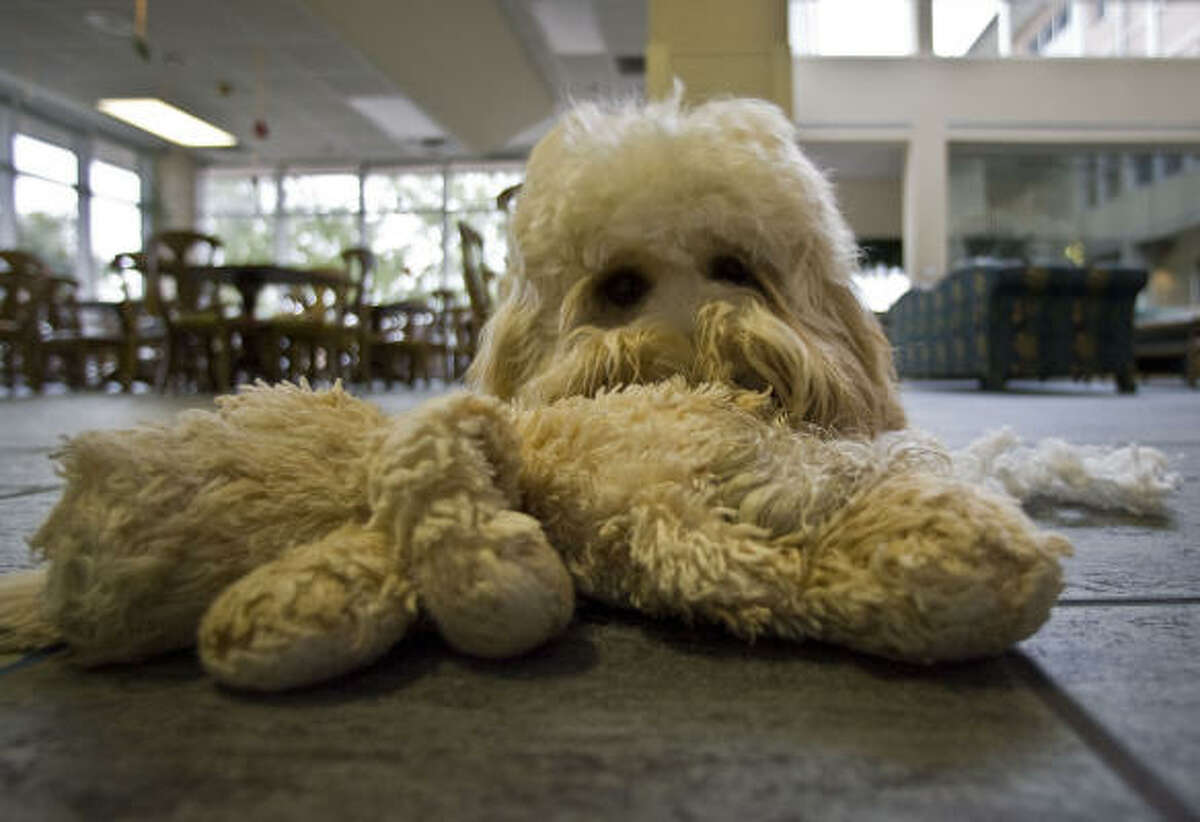 """The Ronald McDonald House dog """"Mogie"""" a labradoodle plays with a stuffed dog toy named """"Mini Me"""""""